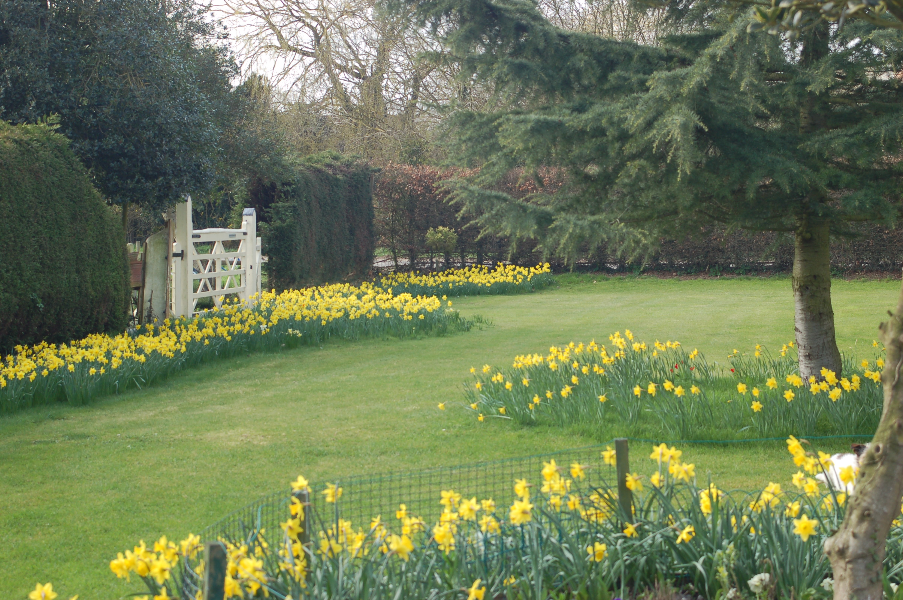 Daffodils in the spring garden